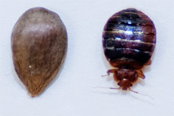 Bed Bugs In Canada A Rising Crisis For Canadians